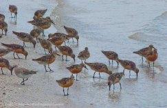 St. Pete Beach birds 27