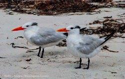 St. Pete Beach birds 15