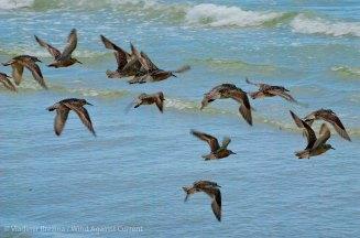 St. Pete Beach birds 30
