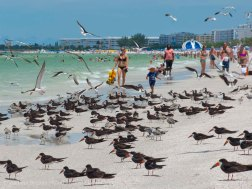 St. Pete Beach birds 8