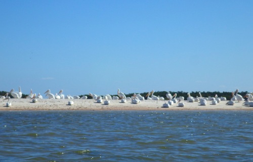 Indian Key White Pelicans